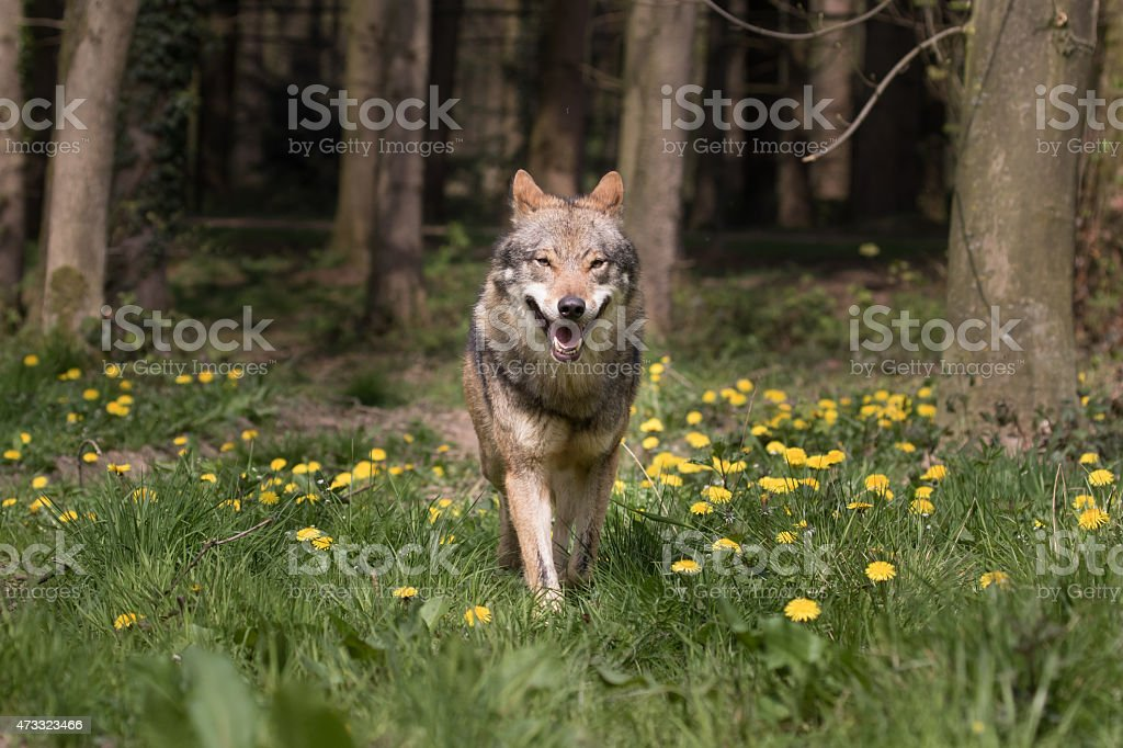 Eurasian Wolf appearing from the woods stock photo