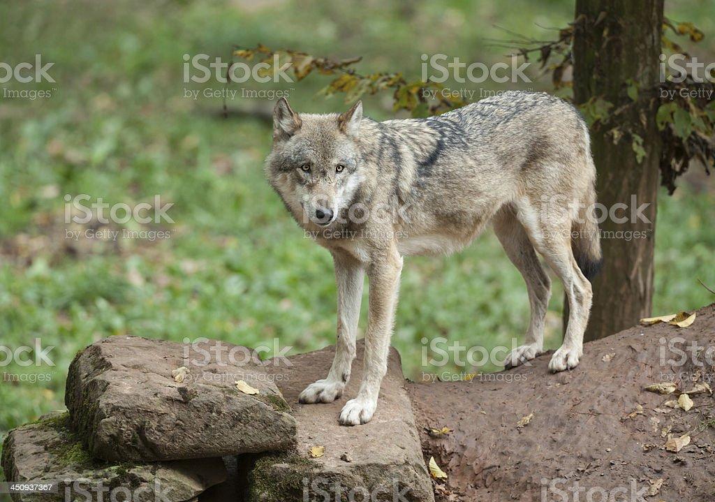 Eurasian Wolf (Canis lupus) stock photo