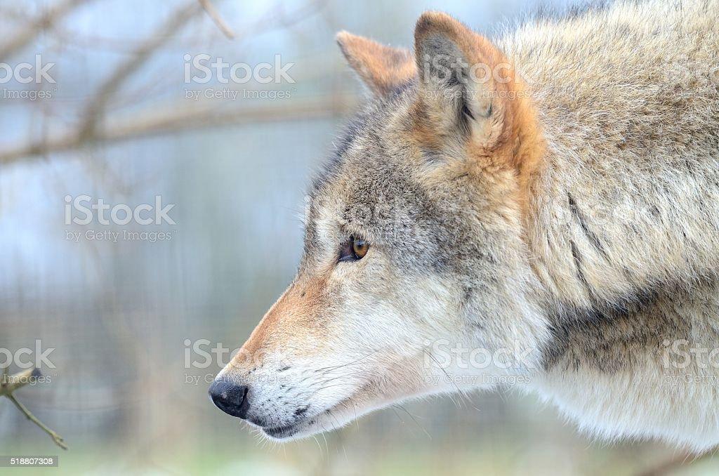 Eurasian Wolf (Canis Lupis Lupis) stock photo