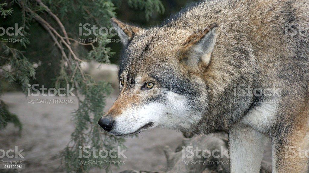 Eurasian Wolf stock photo
