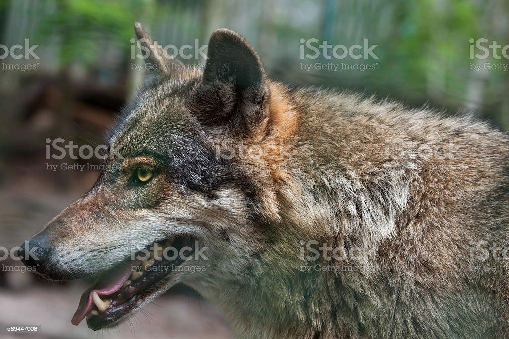 Eurasian wolf (Canis lupus lupus). stock photo