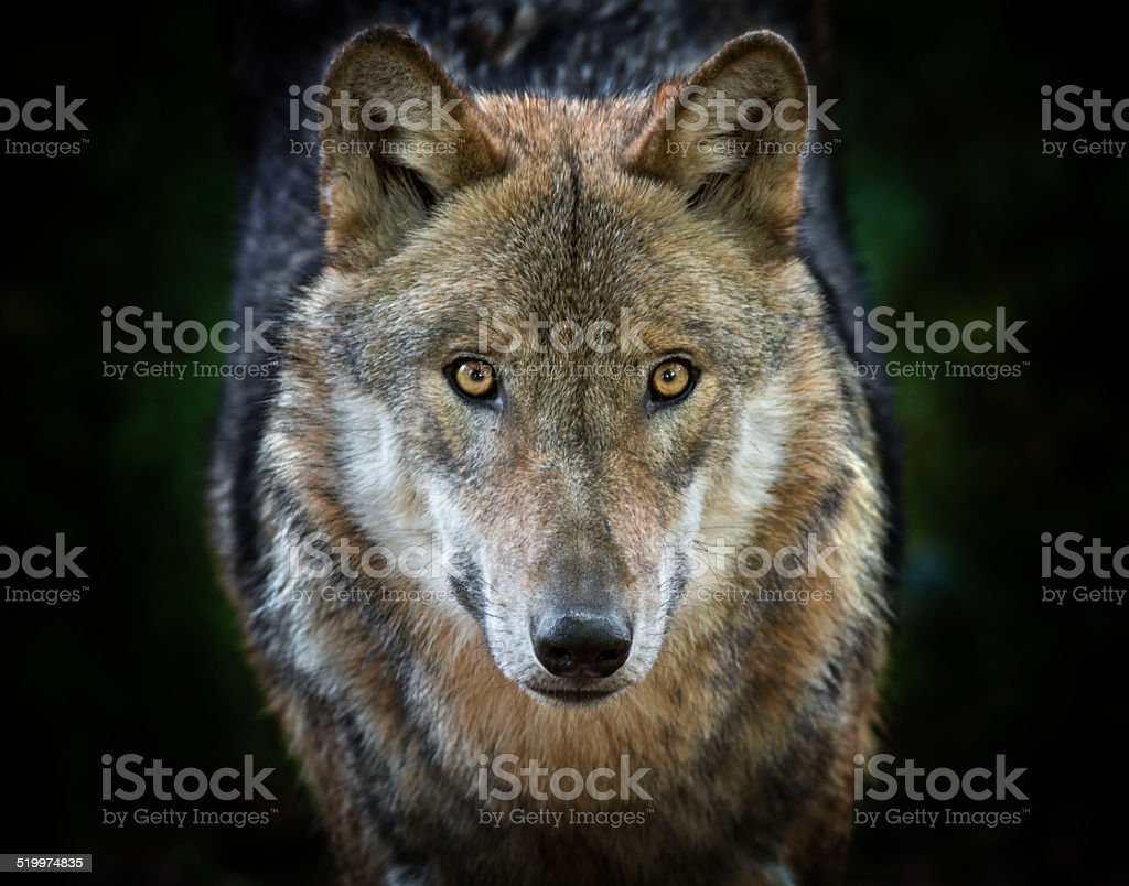 Eurasian Wolf (Canis lupus) staring stock photo