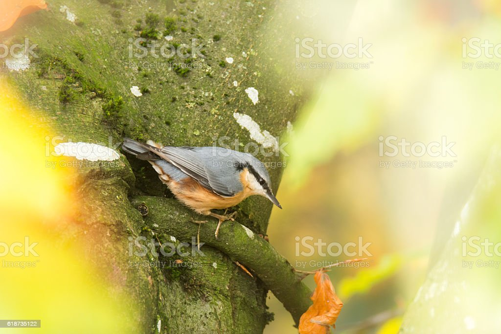 Eurasion nuthatch bird on tree stock photo