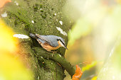Eurasion nuthatch bird on tree