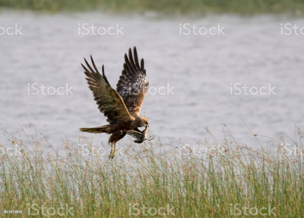 Eurassian Marsh Harrier with Crack Catch stock photo