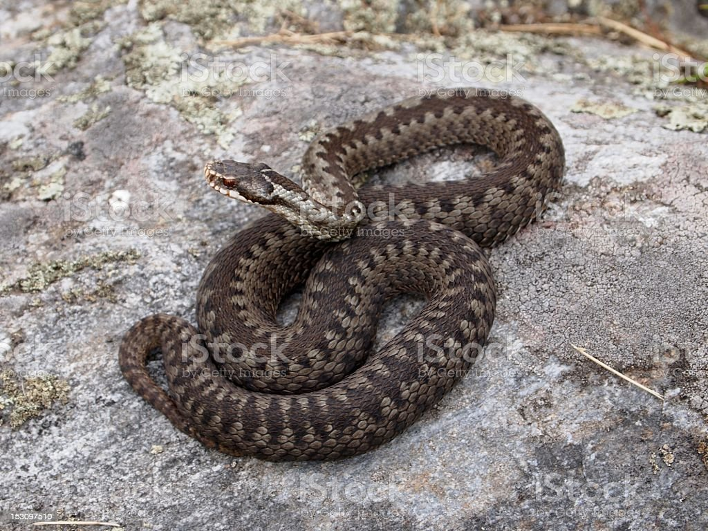A European Adder making its way around a rock royalty-free stock photo