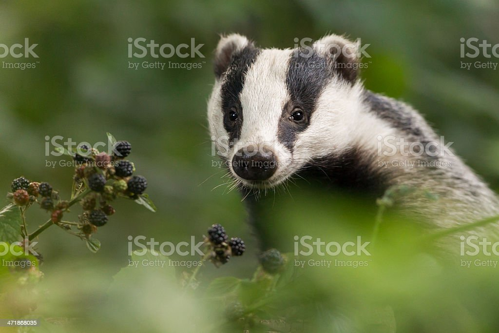 A European badger in the forest stock photo