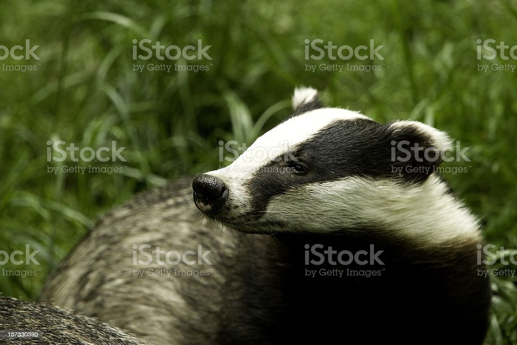 European Badger royalty-free stock photo