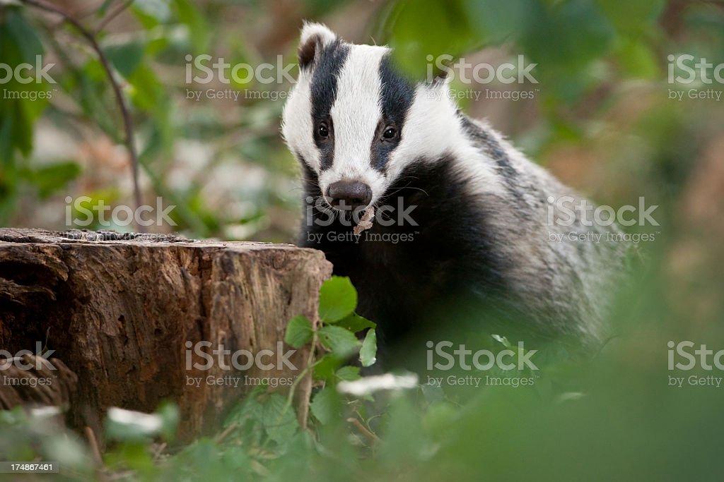 European Badger stock photo