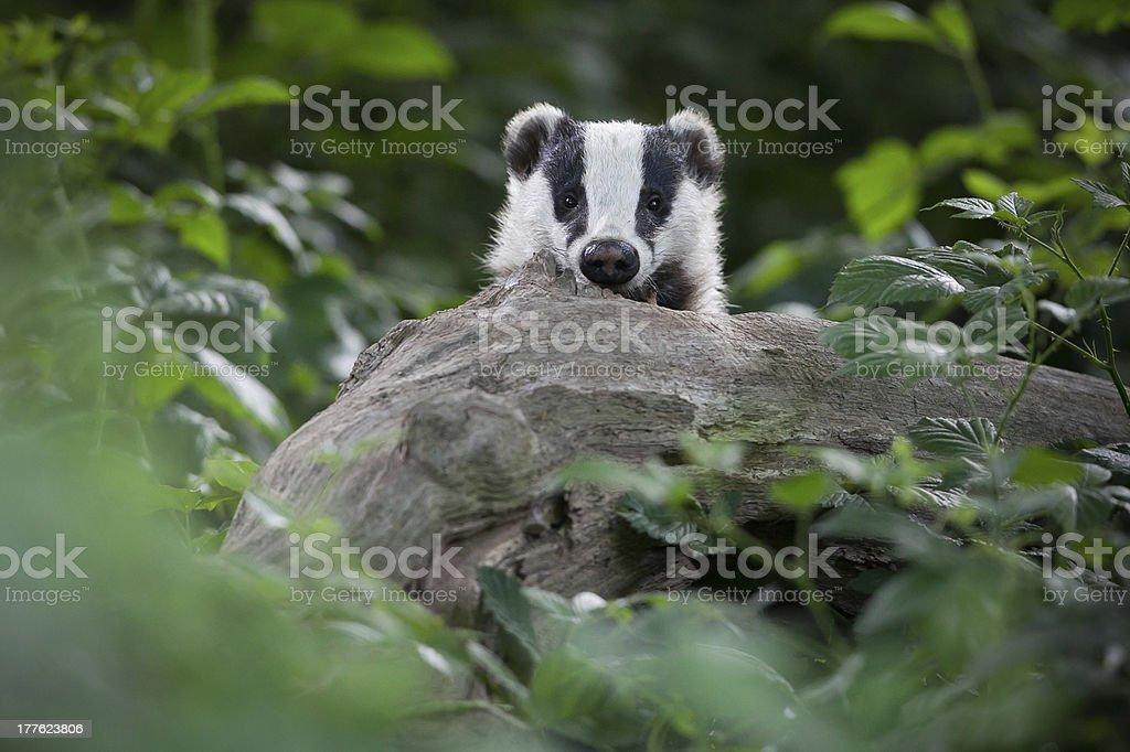 European Badger royalty-free stock photo