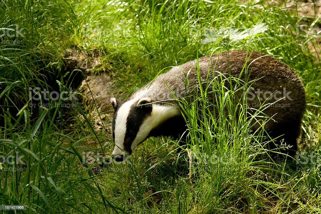 European Badger searching through long grass for food stock photo