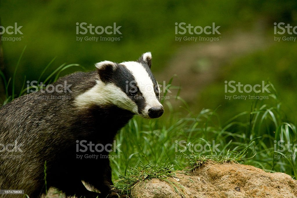 European Badger standing on mound hunting for food stock photo