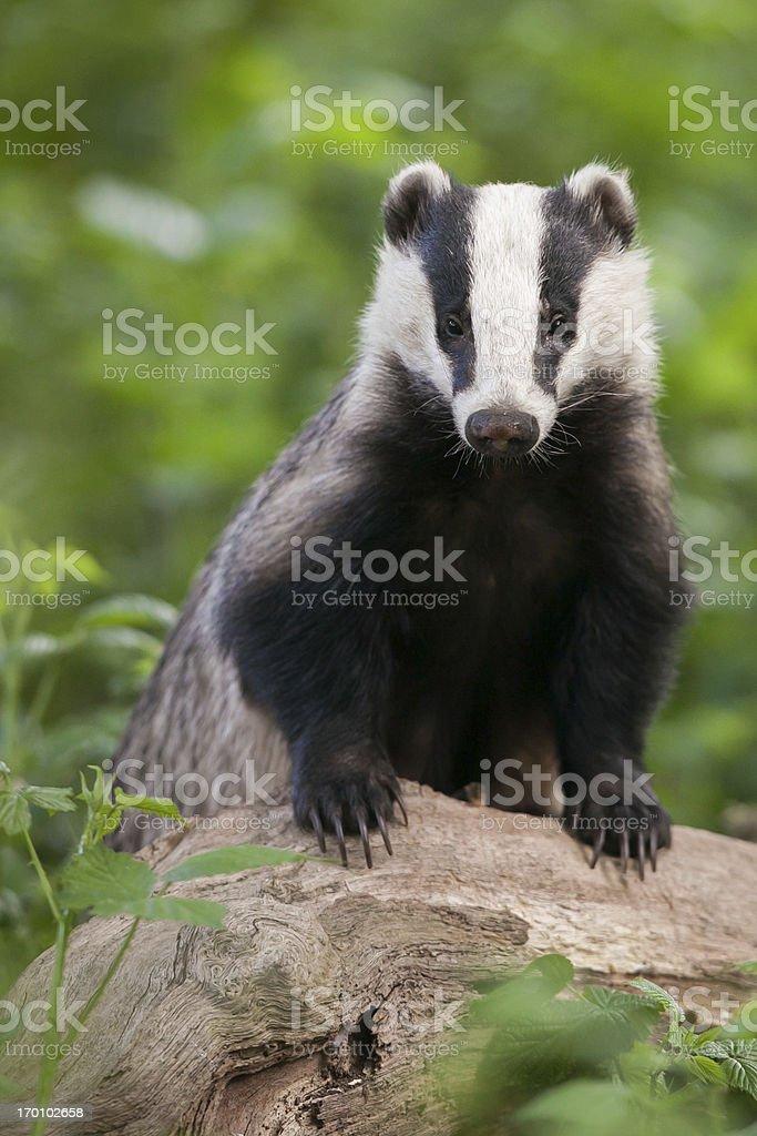 European Badger - vertical portrait royalty-free stock photo
