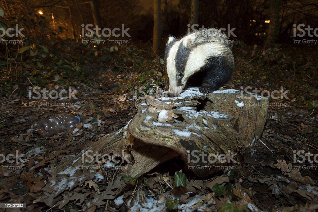 European Badger-Urban Wildlife stock photo