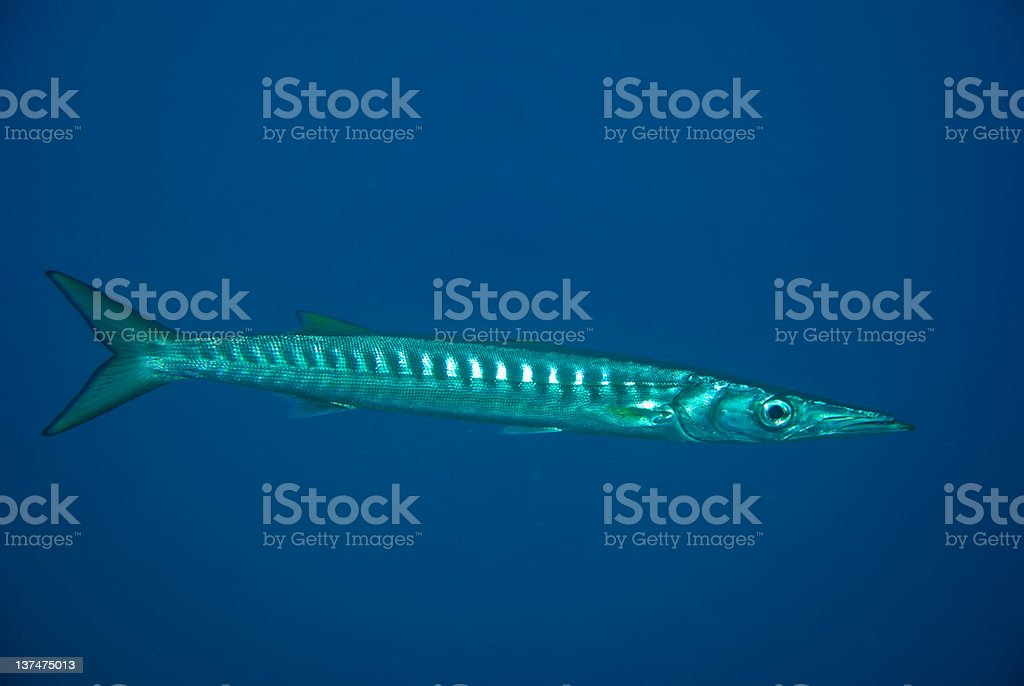 European barracuda. royalty-free stock photo