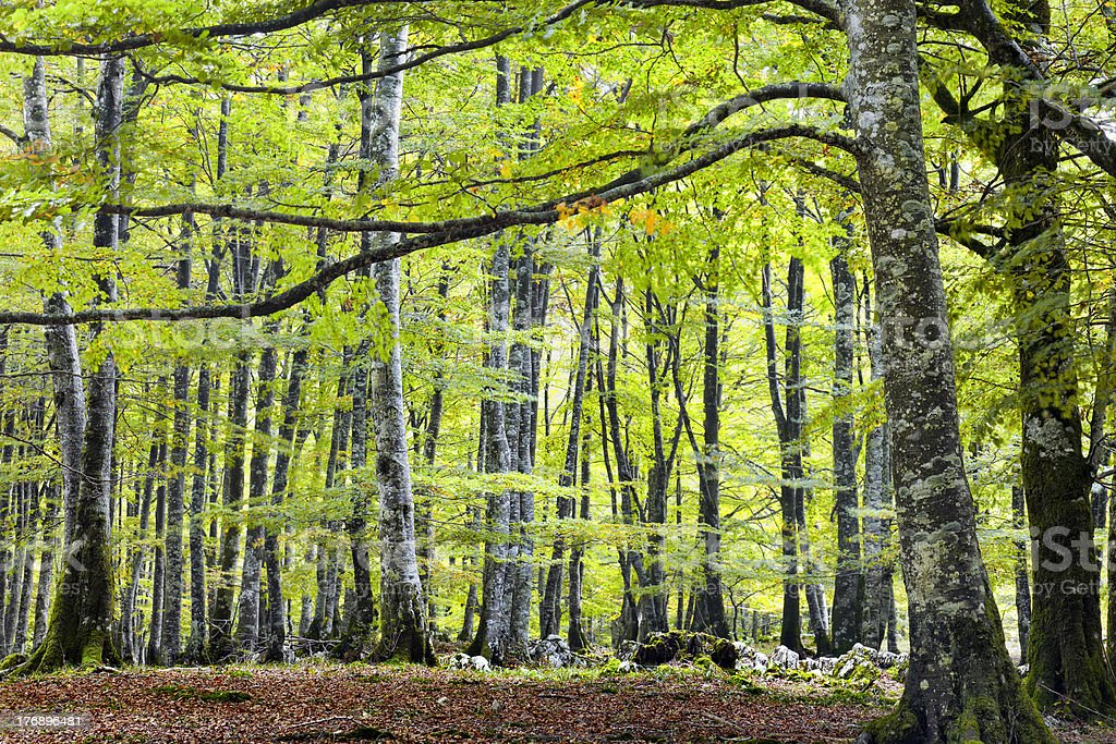 European beech forest royalty-free stock photo