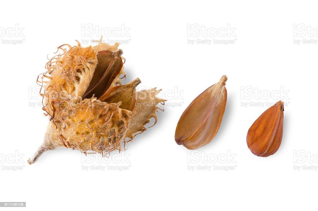 European beechnuts on white background stock photo