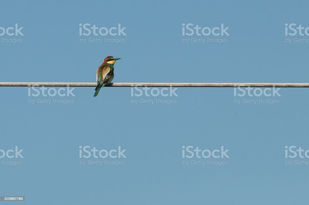 European bee-eater (Merops Apiaster) looking to the right royalty-free stock photo