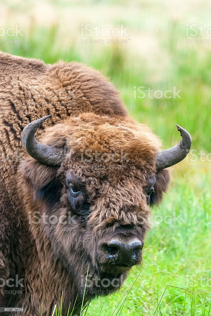 European bison aurochs in Belovezhskaya Puscha stock photo