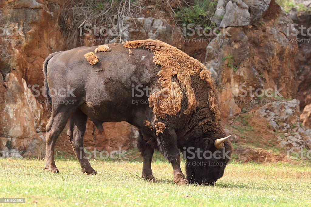 European bison, Bison bonasus stock photo