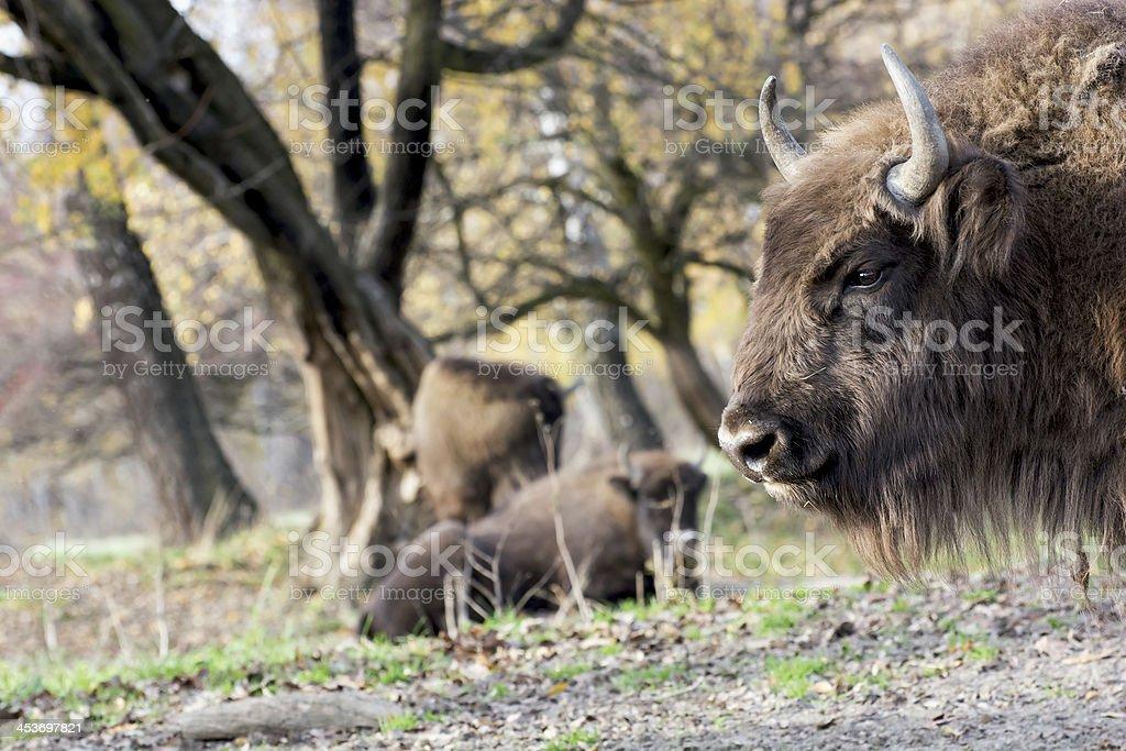 European bison (Bison bonasus) graze in the wild stock photo