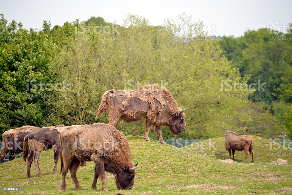 European Bison herd in fota wildlife park stock photo
