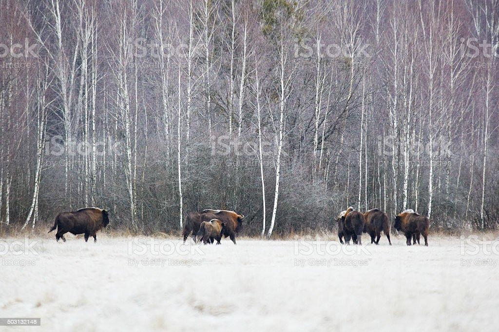 European Bison herd stock photo