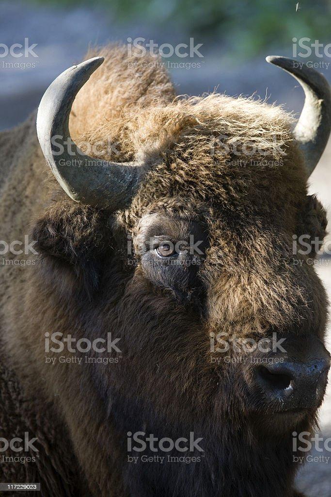 European Bison (B. bonasus) stock photo