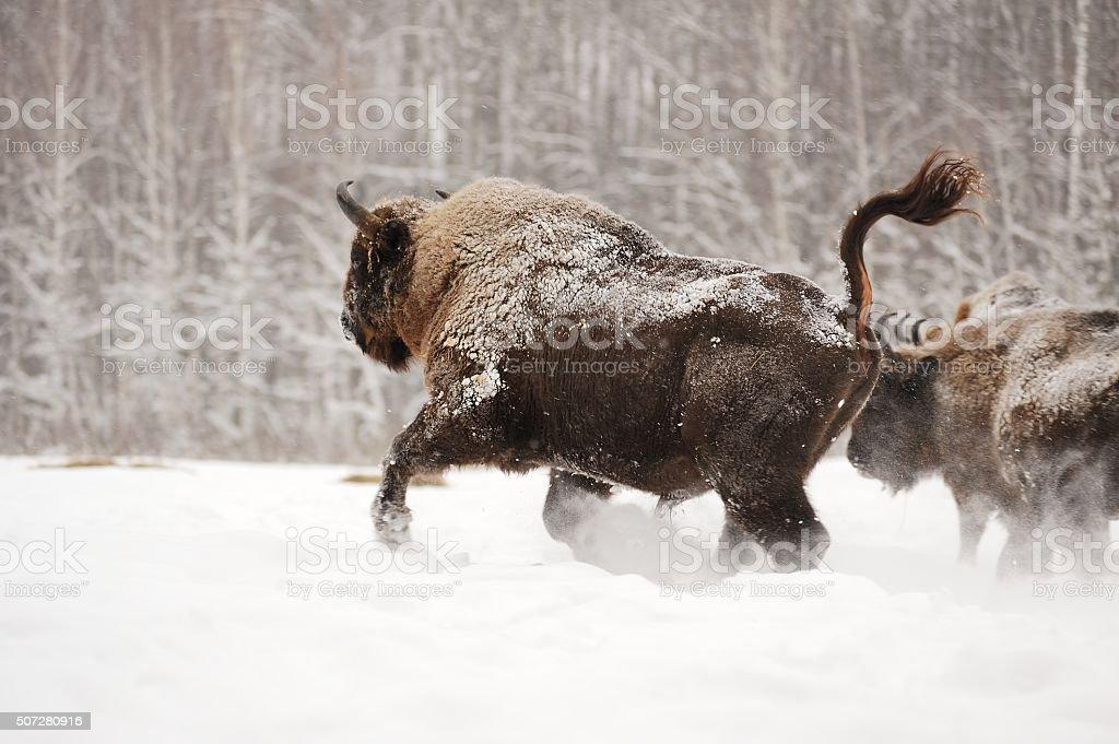 European bison running in Orlovskoye Polesie National park in Russia stock photo