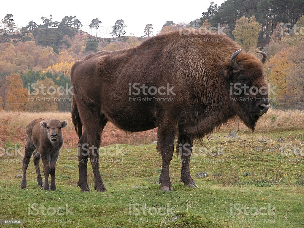 European Bison with calf stock photo