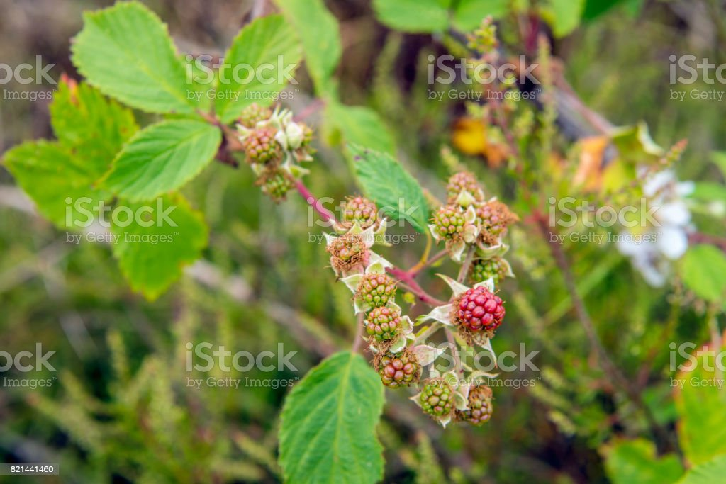 European blackberry shrub growing in the wild nature from close stock photo