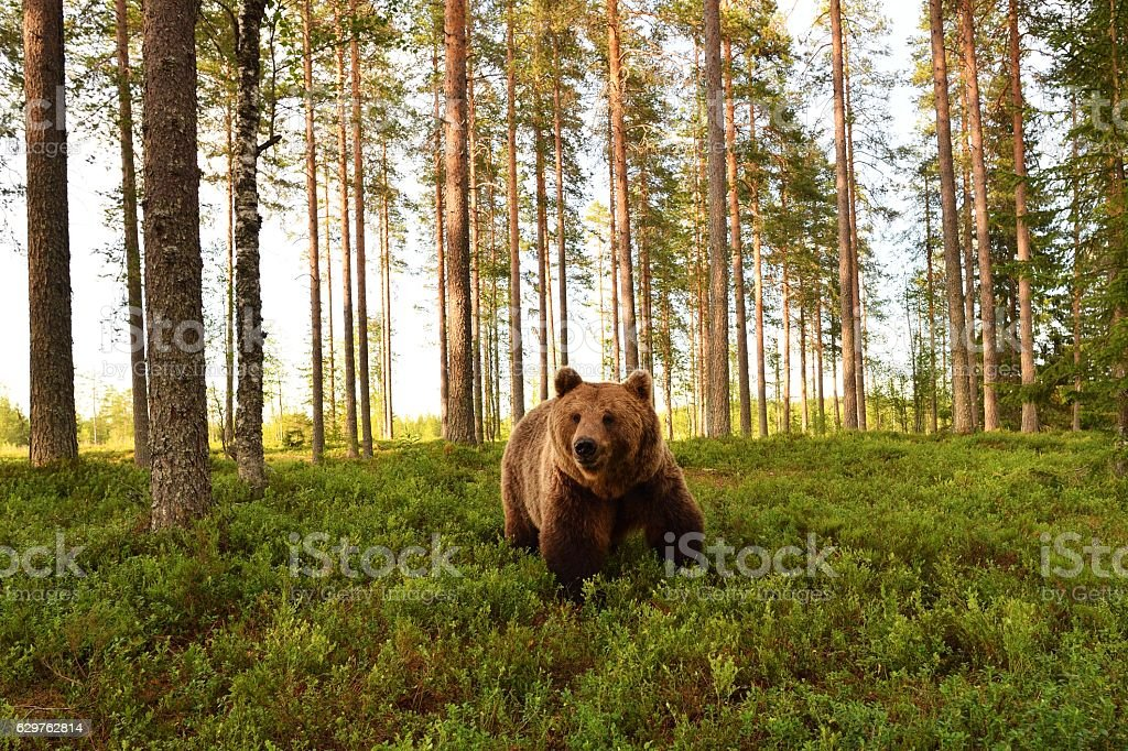 European brown bear in a forest scenery. Brown bear in a forest landscape. stock photo