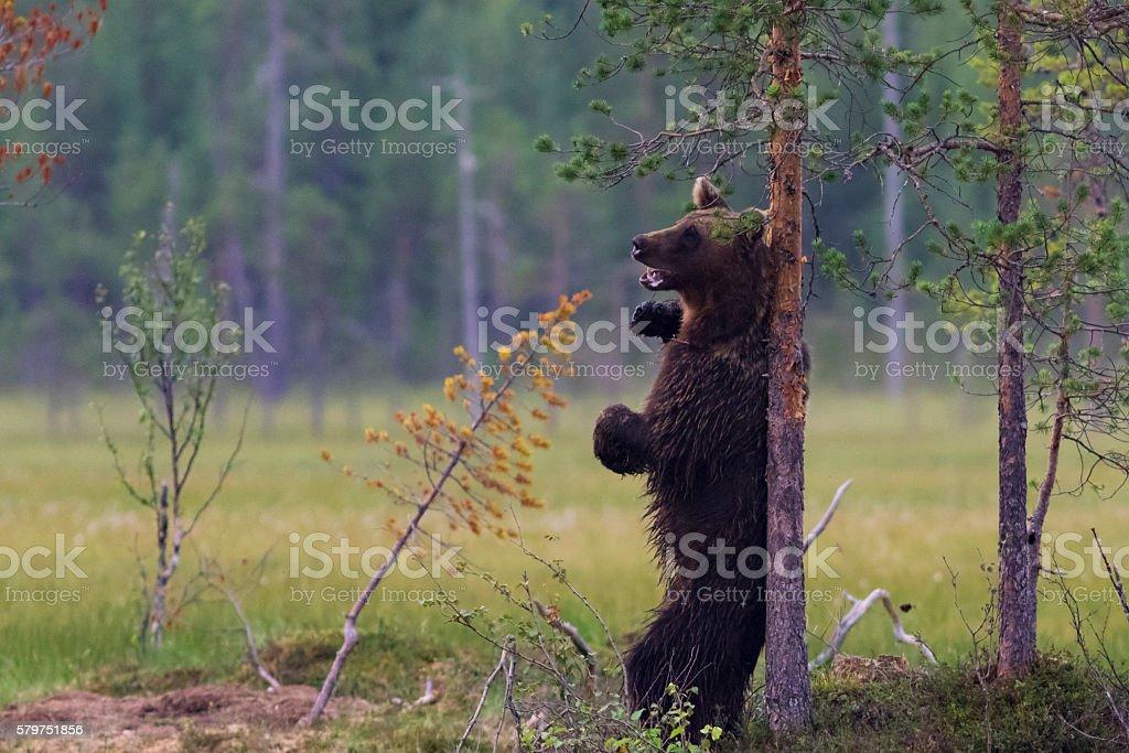 European Brown Bear (Ursus arctos) scratching its back, Finland stock photo