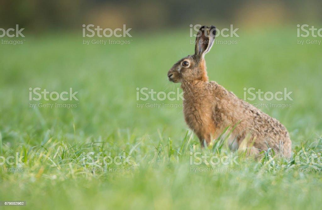 European Brown Hare stock photo