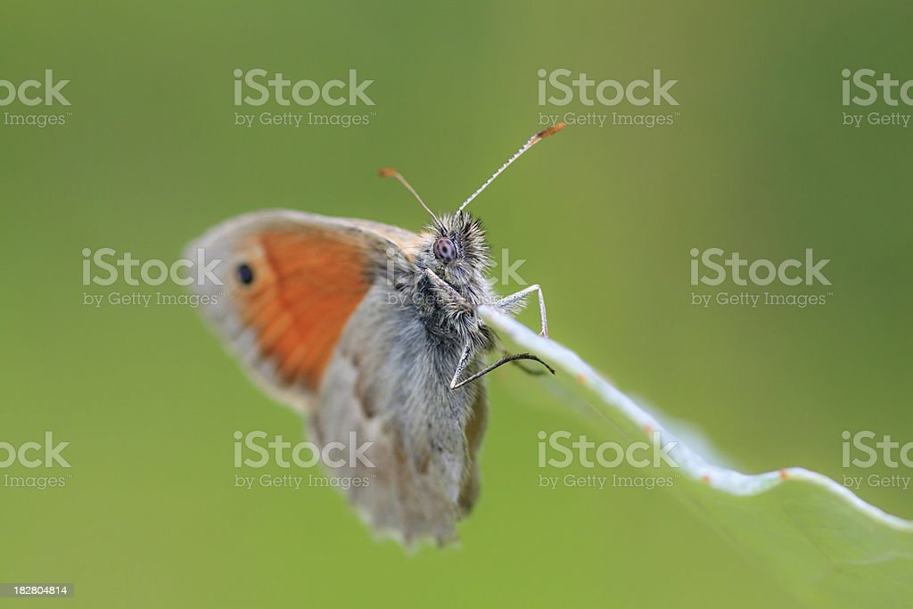 European Butterflies: Small Heath (Coenonympha pamphilus) stock photo
