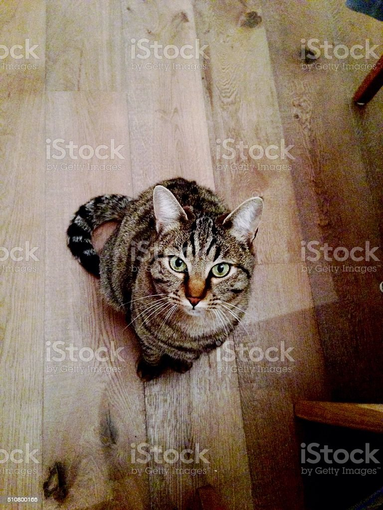 European cat stock photo