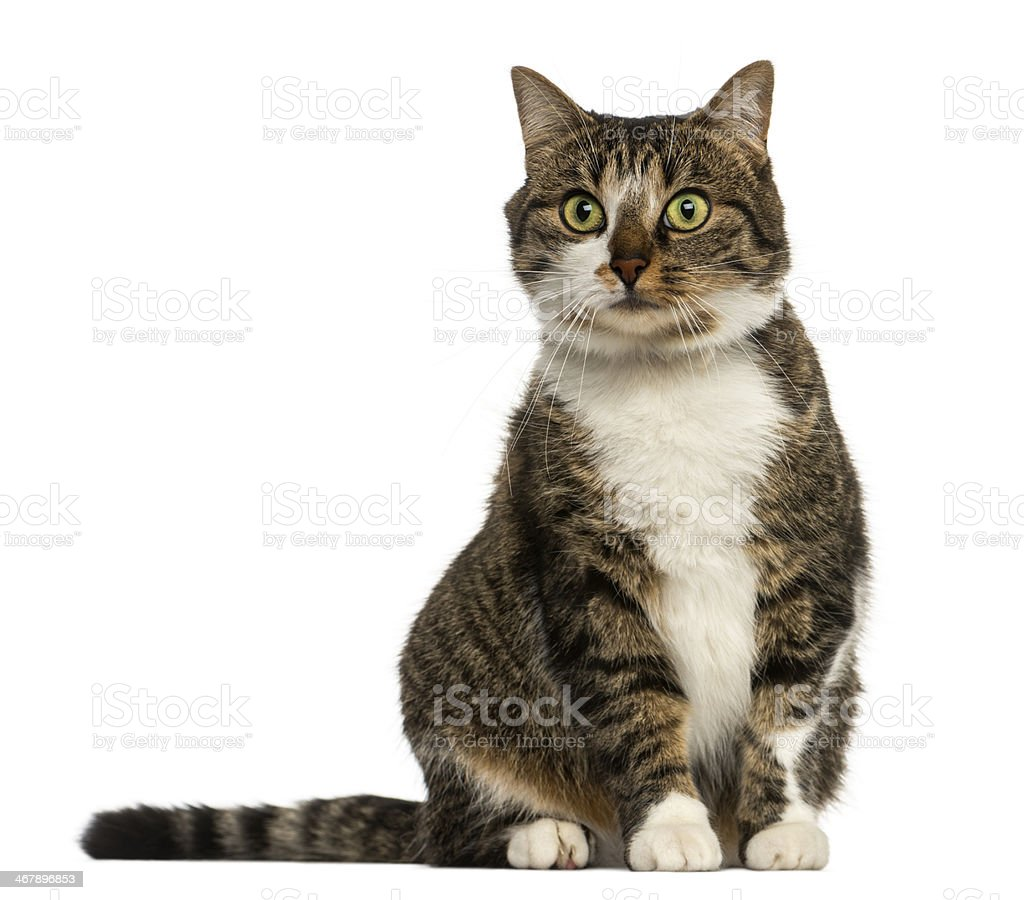 European cat sitting, isolated on white stock photo