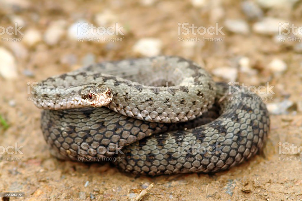 european common adder ready to strike stock photo