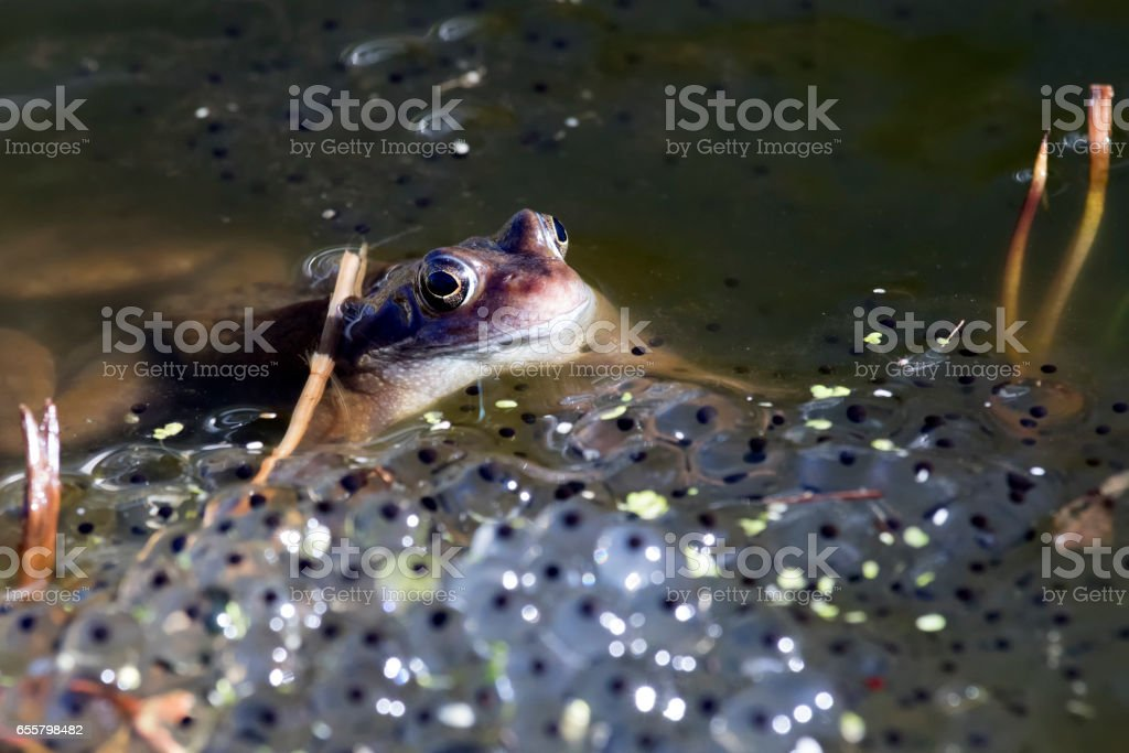 European Common Frog (Rana temporaria) and Spawn stock photo