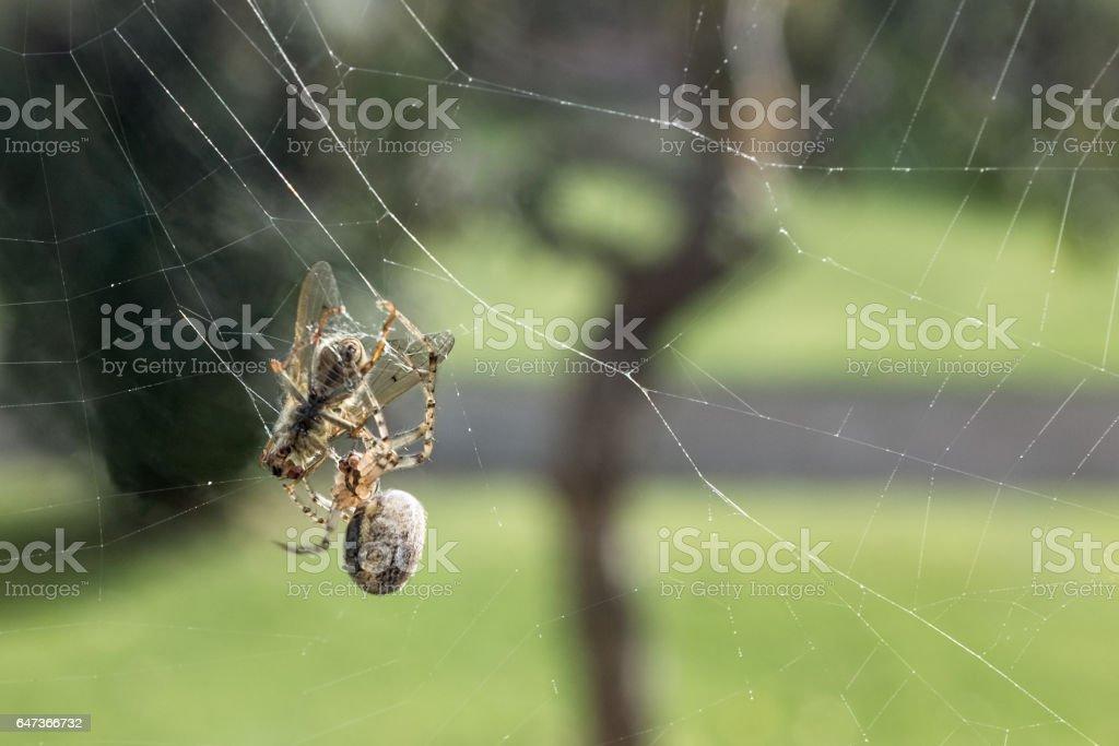 European Common Garden Spider Catching A Fly stock photo