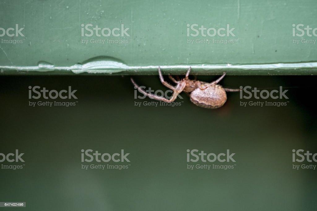 European Common Garden Spider stock photo