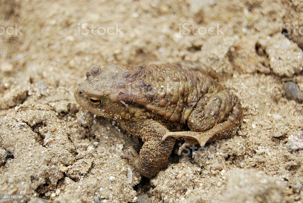 European common toad (Bufo bufo) stock photo
