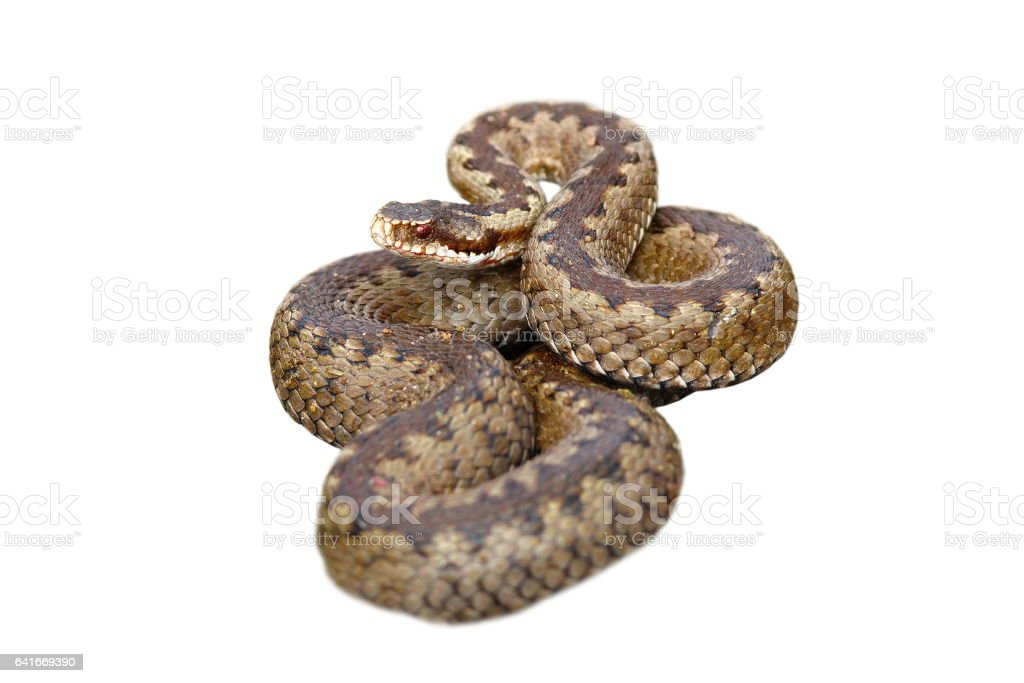 european common viper on white background stock photo