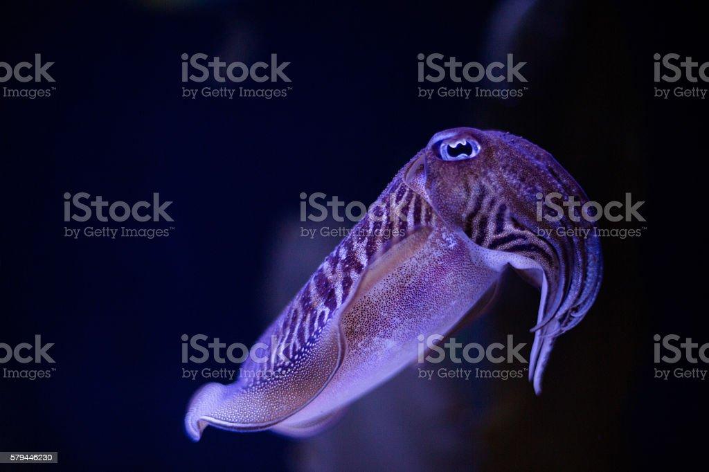 european cuttlefish stock photo