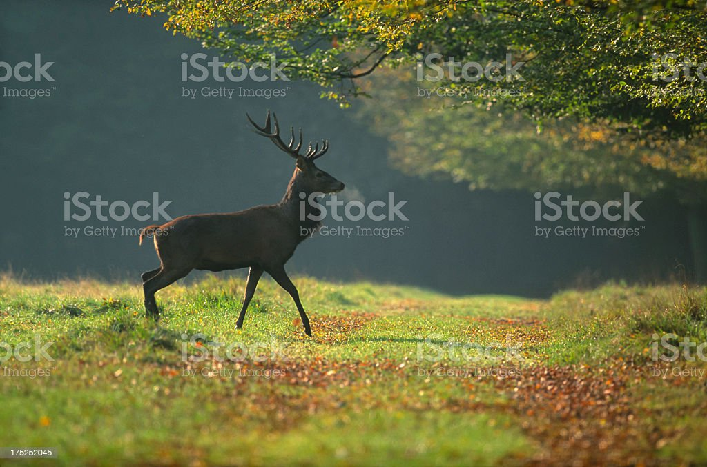 European Deer royalty-free stock photo