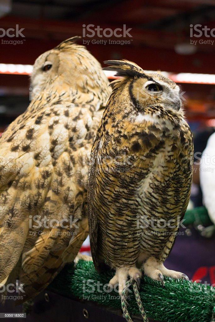Европейский eagle owl Стоковые фото Стоковая фотография