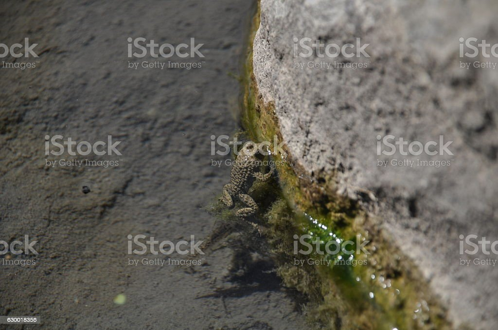 European fire-bellied toad stock photo