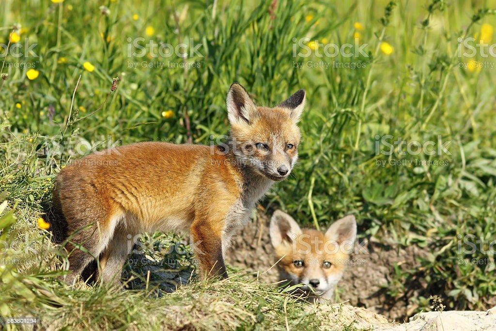 european fox cubs outside the burrow stock photo