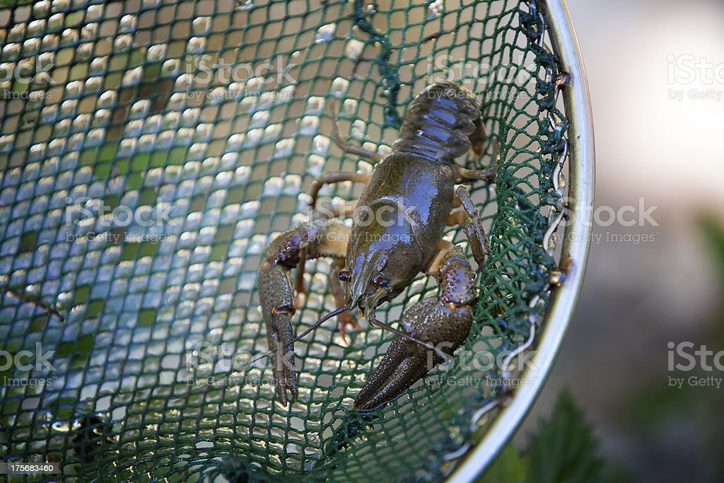 European freshwater crayfish stock photo