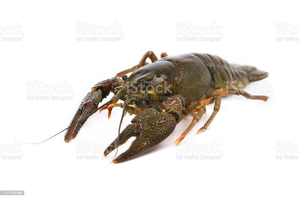 European freshwater crayfish royalty-free stock photo
